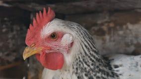 Fim branco preto da galinha acima do piscamentos um olho filme