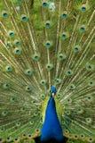 Fim brilhante do pavão acima Foto de Stock