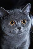 Fim cinzento britânico do gato acima Imagens de Stock Royalty Free