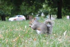 Fim cinzento do esquilo acima na grama com cauda espessa com um carro de polícia atrás Imagens de Stock Royalty Free