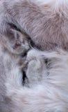 Fim cinzento do gato das patas acima Foto de Stock Royalty Free