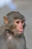 Fim cinzento do macaco do cabelo acima Imagens de Stock Royalty Free