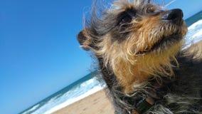 Fim com crista chinês do cão acima na praia fotografia de stock