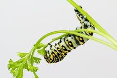 Fim com fome da larva da borboleta acima Fotografia de Stock Royalty Free