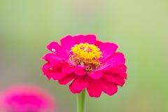 Fim cor-de-rosa bonito da flor acima Fotografia de Stock Royalty Free