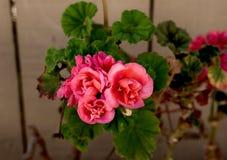 Fim cor-de-rosa bonito da flor acima fotografia de stock