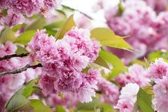 Fim cor-de-rosa de Cherry Blossom acima Fundo da mola Foto fresca floral da flor A profundidade de campo suporta sobre de um deta Foto de Stock Royalty Free