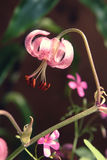 Fim cor-de-rosa crescente do tigrinum do Lilium acima Imagem de Stock Royalty Free