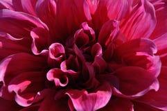 Fim cor-de-rosa da flor acima Fotos de Stock