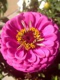 Fim cor-de-rosa da flor acima Fotografia de Stock Royalty Free