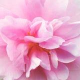 Fim cor-de-rosa da flor da camélia acima Fotografia de Stock