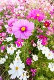 Fim cor-de-rosa da flor do cosmos acima Imagens de Stock