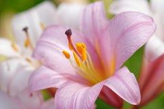 Fim cor-de-rosa da flor do lírio acima com detalhes Foto de Stock Royalty Free