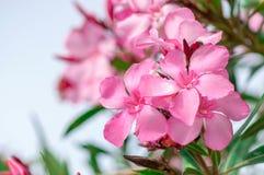 Fim cor-de-rosa da flor do oleandro acima Imagens de Stock