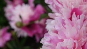 Fim cor-de-rosa da flor da peônia acima no canteiro de flores Câmera da estática das imagens de vídeo de HD vídeos de arquivo