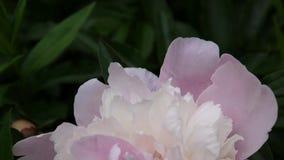 Fim cor-de-rosa da flor da peônia acima no canteiro de flores Câmera da estática das imagens de vídeo de HD filme