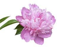 Fim cor-de-rosa da flor da peônia acima no fundo branco isolate imagem de stock royalty free
