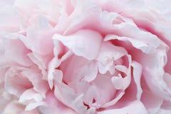 Fim cor-de-rosa da rosa da peônia acima Fotos de Stock Royalty Free