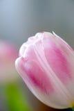 Fim cor-de-rosa da tulipa acima Imagens de Stock
