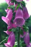 Fim cor-de-rosa de florescência da digital acima no verão Foto de Stock