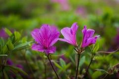 Fim cor-de-rosa do arbusto das azáleas acima do macro imagem de stock royalty free