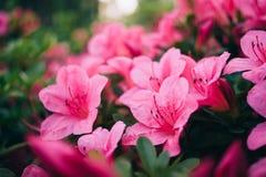 Fim cor-de-rosa do arbusto das azáleas acima do macro imagens de stock