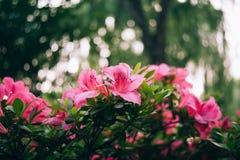 Fim cor-de-rosa do arbusto das azáleas acima do macro fotografia de stock
