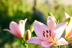 Fim cor-de-rosa do lírio acima Fotografia de Stock