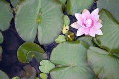 Fim cor-de-rosa do lírio de água acima com folha e água verdes Fotos de Stock Royalty Free