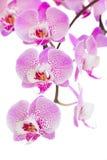 Fim cor-de-rosa do ramo das flores da orquídea acima Imagens de Stock Royalty Free