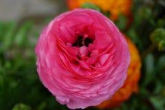 Fim cor-de-rosa do ranuculus acima Imagem de Stock Royalty Free