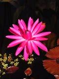 Fim cor-de-rosa exótico da flor de lótus acima imagens de stock