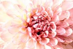 Fim cor-de-rosa impressionante da cabeça de flor da dália acima Imagem de Stock