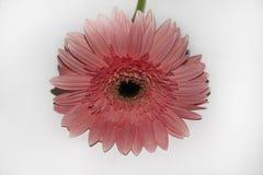 Fim cor-de-rosa muito agradável do gerber acima Imagem de Stock