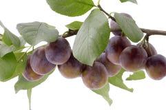 Fim da árvore de ameixa acima Imagem de Stock