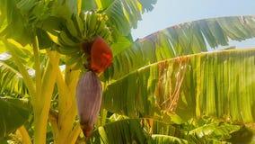 Fim da árvore de banana acima da vista vídeos de arquivo