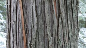 Fim da árvore de cedro acima no tempo de inverno Exibição da casca de Brown no primeiro plano imagem de stock royalty free
