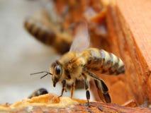 Fim da abelha acima do assento em um quadro em uma colmeia fotografia de stock royalty free