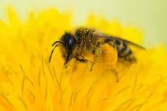 Fim da abelha do mel acima do searchingg para o pólen Foto de Stock