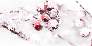 Fim da baga do azevinho do Natal acima Foto de Stock