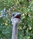 Fim da cabeça da avestruz acima Imagem de Stock Royalty Free