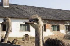 Fim da cabeça da avestruz acima na exploração agrícola da avestruz Avestruzes no prado na exploração agrícola A avestruz engraçad foto de stock royalty free