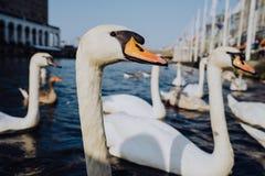 Fim da cabeça da cisne acima no lago Alster perto da câmara municipal Hamburgo, Alemanha Imagens de Stock Royalty Free