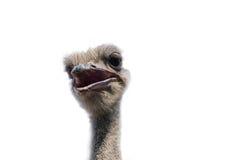 Fim da cabeça da avestruz acima no branco Imagem de Stock
