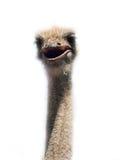 Fim da cabeça da avestruz acima no branco Imagens de Stock Royalty Free