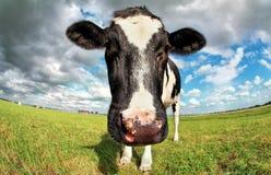 Fim da cabeça da vaca acima através da lente do peixe-olho Fotografia de Stock Royalty Free