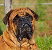 Fim da cabeça de Bullmastiff acima Imagens de Stock Royalty Free