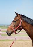 Fim da cabeça de cavalo acima Imagens de Stock Royalty Free