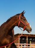 Fim da cabeça de cavalo acima Fotos de Stock Royalty Free
