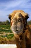 Fim da cabeça do camelo acima no deserto Fotografia de Stock Royalty Free